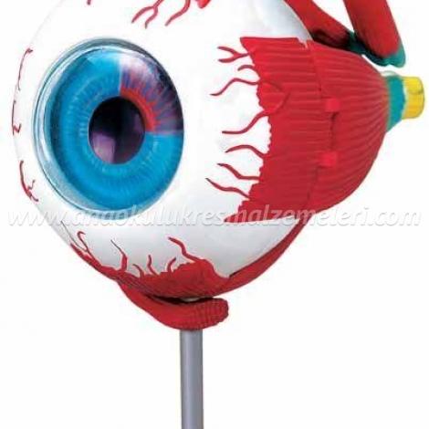 Göz Maketi